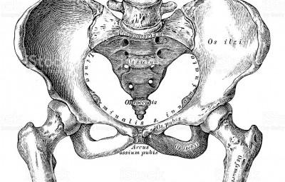Le bassin est la partie du corps humain