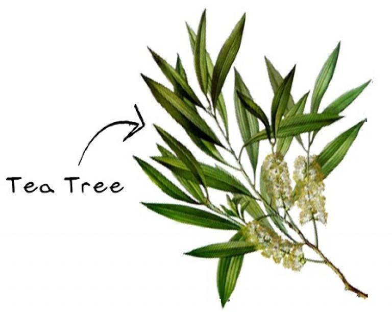Huile Essentielle Darbre A The Ou Tea Tree